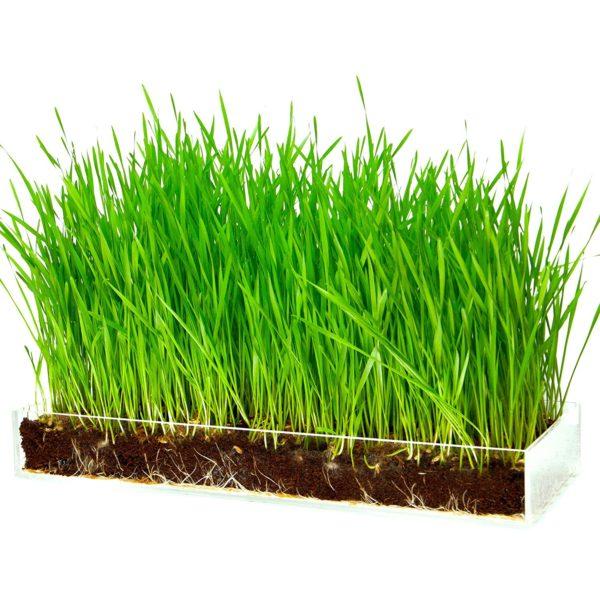 Window Garden Wheatgrass Growing Kit
