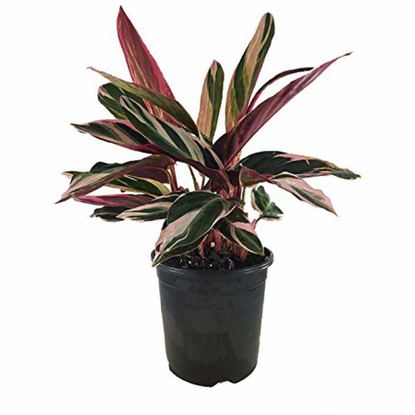 "AMERICAN PLANT EXCHANGE Tricolor Stromanthe Easy-to-Grow Live Prayer Plant, 6"" Pot, Indoor/Outdoor Air Purifier"