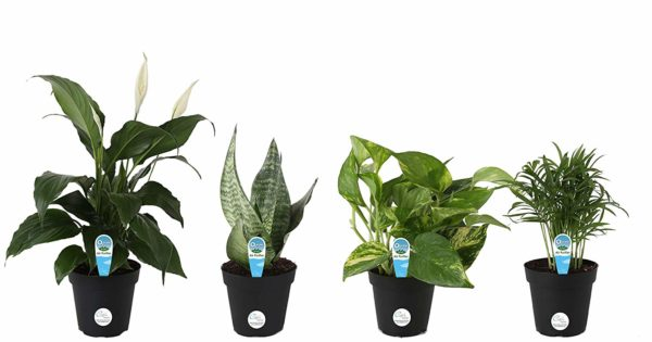 Costa Farms Clean Air For You Live House Plant Collection 4-