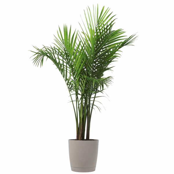 Costa Farms Majesty Palm Tree, Live Indoor Plant, 3 to 4-Feet Tall