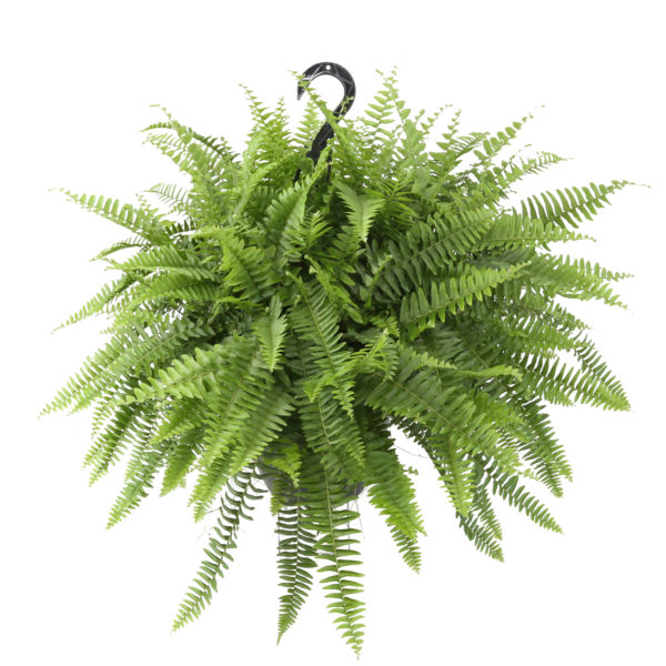 "Delray Plants Fully Grown Hanging Boston Fern Easy Grow Easy Care Live House Plant, 10"" Hanging Pot"