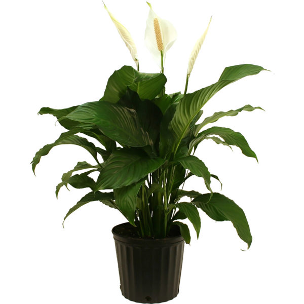 Delray Plants Spathiphyllum (Peace Lily) Sweet Pablo Easy To Grow Live House Plant, 10-inch Grower Pot