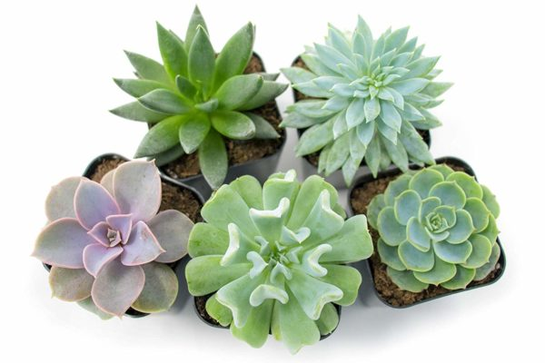 Succulent Plants (5 Pack), Fully Rooted in Planter Pots with Soil