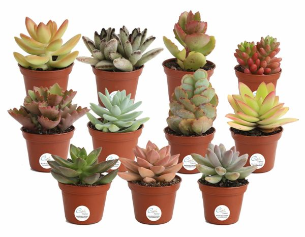 Costa Farms Unique Succulents Indoor Plants 11-Pack
