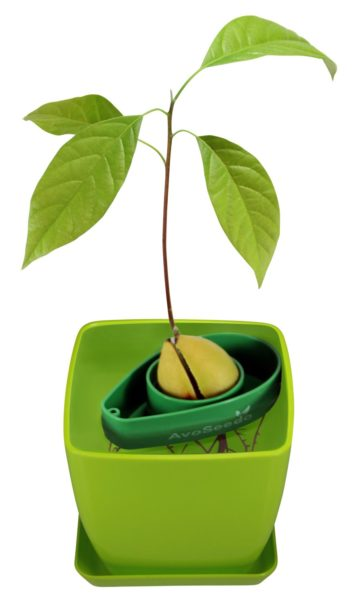 AvoSeedo Bowl Set Grow Your Own Avocado Tree