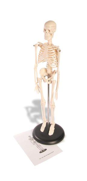 "American Educational Skeleton Model, 17"" Height"