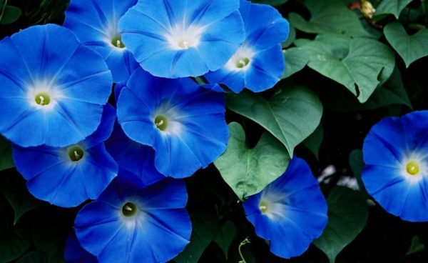Heavenly Blue Morning Glory, Large Packet of 1,500 Seeds