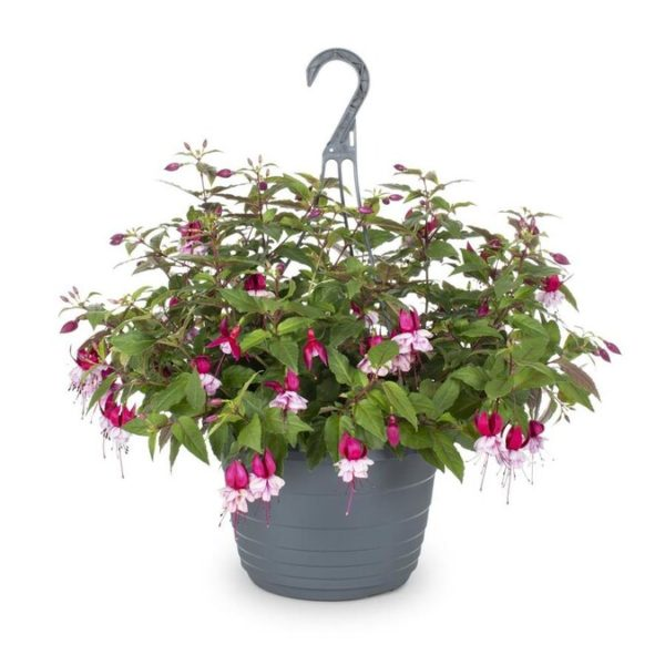 1.5-Gallon Multicolor Fuchsia in Hanging Basket