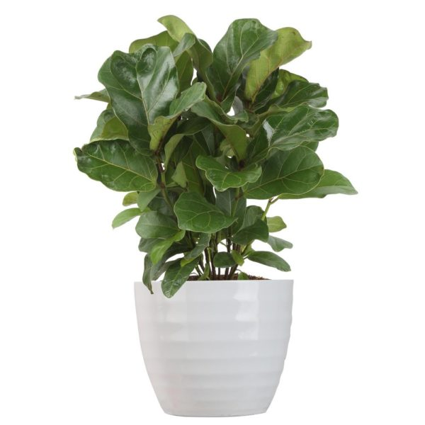 Costa Farms Trending Tropicals Little Fiddle Leaf Ficus